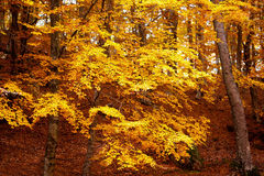 Forest in fall Stock Photography