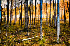 Forest by fall. A birch forest by fall Royalty Free Stock Image