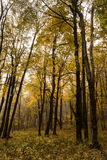 Forest in fall colors Royalty Free Stock Image