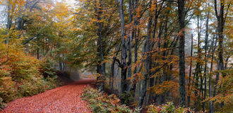 Forest fall path. Misty deciduous forest in autumn with a path making the way through the beech trees Royalty Free Stock Photo