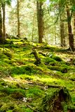 Forest with fallen trees thickly covered with moss Stock Image