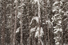 Forest with falling snow Stock Photos