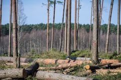 Forest with felled trees Royalty Free Stock Image
