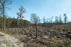Forest after felling trees Stock Image