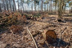 The forest after the felling of the trees. The photo was taken in a Dutch nature reserve on a beautiful day in the winter season stock photos