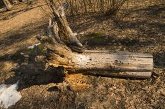 Forest felling, uprooted big tree root stock images