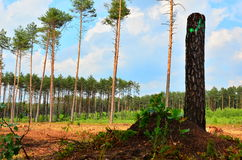 Forest after felling. White Wilderness, forest after felling Stock Photo