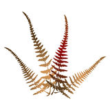 Forest fern Royalty Free Stock Photography