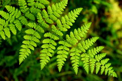 Forest Fern Royalty Free Stock Photos