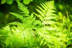 Forest Fern image libre de droits
