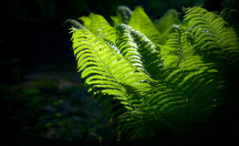 Forest fern background. Dark forest background with fern leafs glowing in the sunlight Stock Photo