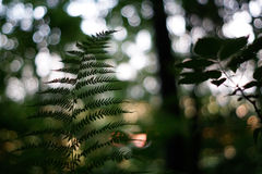 Forest fern. This bokehlicious fern in the beautiful forest stock photo