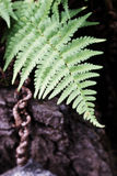 Forest Fern Royalty Free Stock Photo