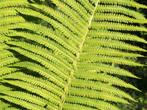 Forest fern Royalty Free Stock Image