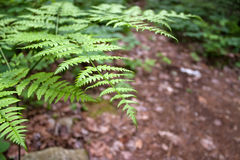 Forest Fern Leaves Royalty Free Stock Image