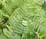 Forest fern leaves Stock Photography