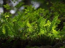 Forest Ferns Lizenzfreies Stockbild