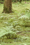 Forest with ferns Royalty Free Stock Images