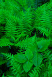 Forest Ferns Stock Photos