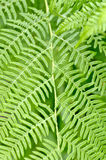 Forest ferns Royalty Free Stock Image