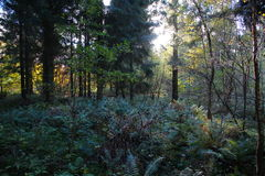 Forest ferns in autumn Royalty Free Stock Images