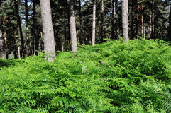 Forest with ferns, Elguea range (Basque Country) Stock Images