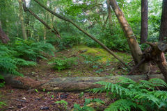 Forest with ferns and fallen trees Royalty Free Stock Image