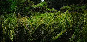 Forest Ferns 1 Stock Image