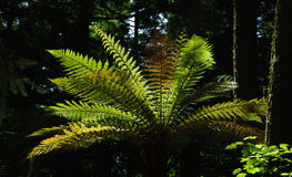 Forest Ferns 9 Royalty Free Stock Photography