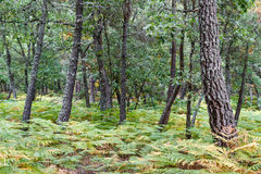 Forest of ferns, oaks and pines. Stock Photo