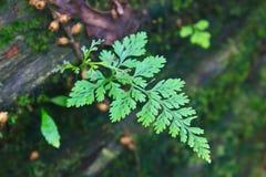 Forest Ferns und gefallener Klotz Stockfoto