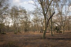 Forest of fever trees in Gorongosa National Park Royalty Free Stock Photography