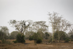 Forest of fever trees in Gorongosa National Park Royalty Free Stock Image