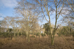 Forest of fever trees in Gorongosa National Park Royalty Free Stock Images
