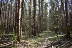 The forest is filled with pine smell, special coniferous cheerfulness and silence. Nothing disturbs the peace of the forest in the morning shadows on the road royalty free stock photo