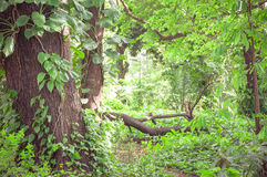 Forest filled with trees and green vegetation all around Royalty Free Stock Images