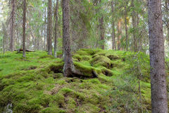 Forest in Finland at summer stock photo