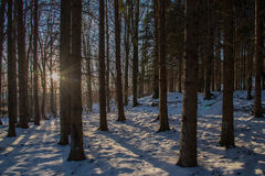 Forest of fir. Backlit suggestive among fir trees Stock Image