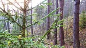 Fir tree branch sways on sunrise. Forest and fir branch close-up stock video footage