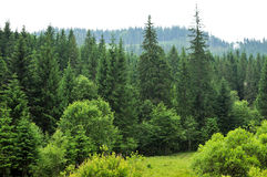 Forest with fir trees Royalty Free Stock Images