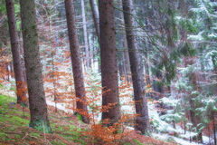 Forest with fir trees  and vegetation Stock Photo