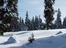 Forest of fir trees by winter Stock Images