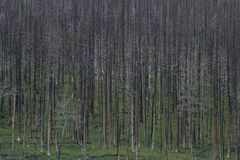 Forest Fire. Shot of a stand of trees after a forest fire Royalty Free Stock Photo