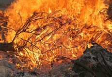 Forest fire. Conifer christmas tree consumed in flames and ashes Stock Image