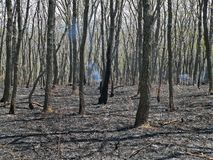 Forest after Fire. Soon after fire in oaky forest. Ash and smoke. Russian Far East Royalty Free Stock Photos