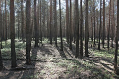 Forest after fire. Trees after the forest fire Stock Photos