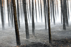 Forest after fire Royalty Free Stock Photo