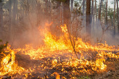 Forest Fire arkivfoton
