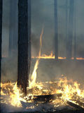 Forest fire. In a pine wood of Krasnoyarsk region stock images