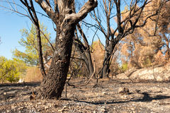 Forest fire aftermath Stock Photography